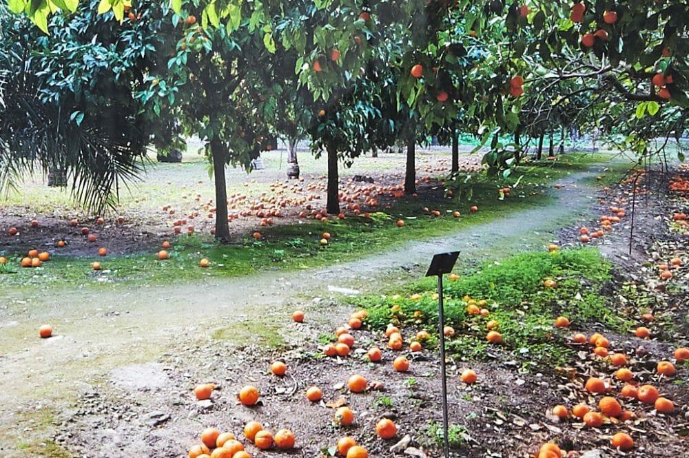 oranges-in-the-botanical-gardens-sicily