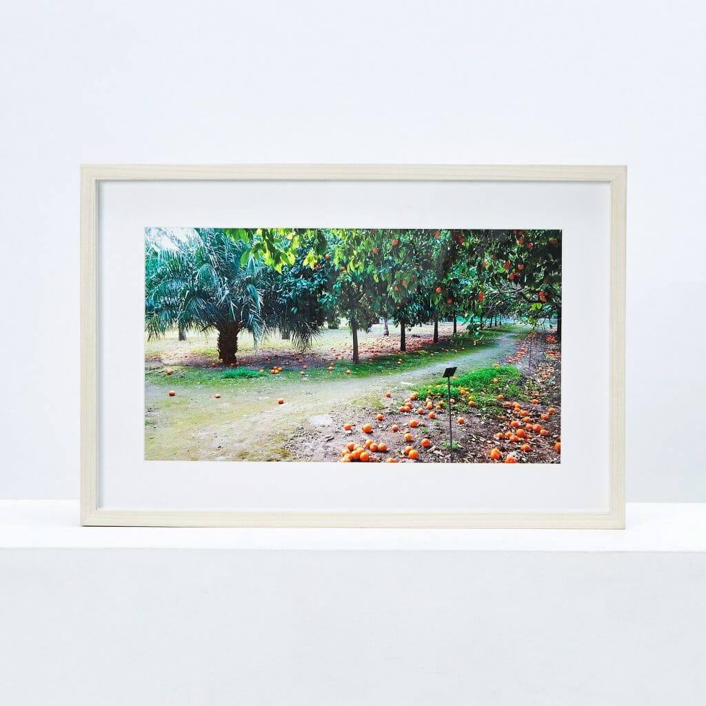 oranges-in-the-botanical-gardens-sicily-giclée-photo-print-colour